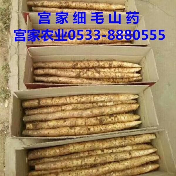 淄博宫家农业细毛山药绿色种殖