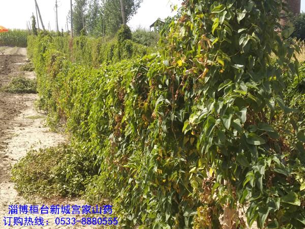 桓台宫家山药600亩种植基地欢迎考察